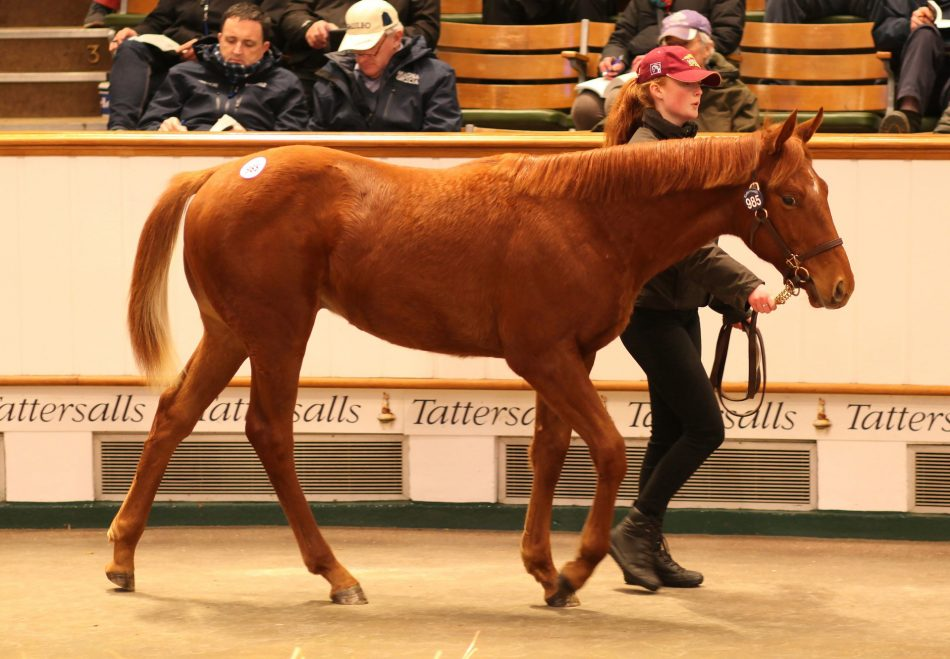 Glenagles ex Bridal Dance yearling colt selling for 240,000gns at Tattersalls December Yearling Sale