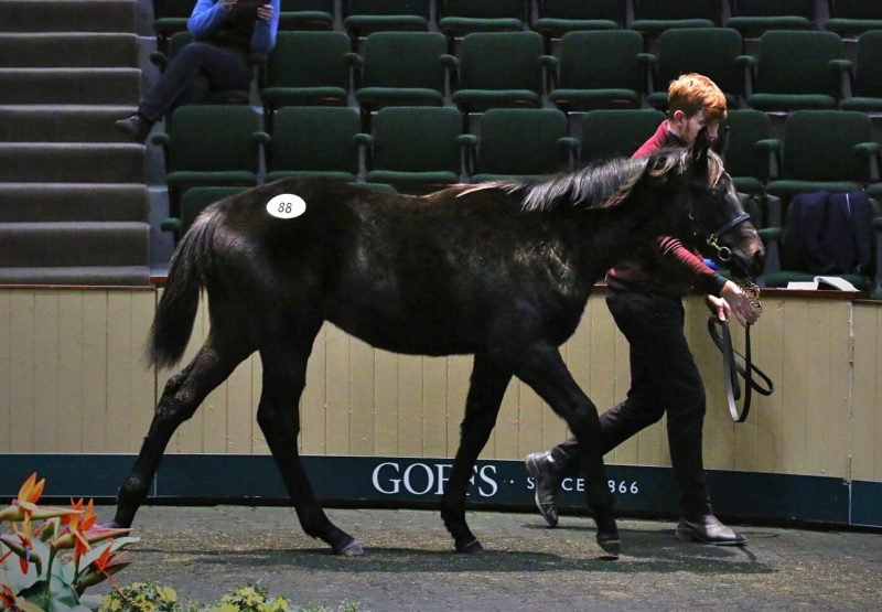 Caravaggio Colt Ex Cape Joy Sells For 100K At Goffs