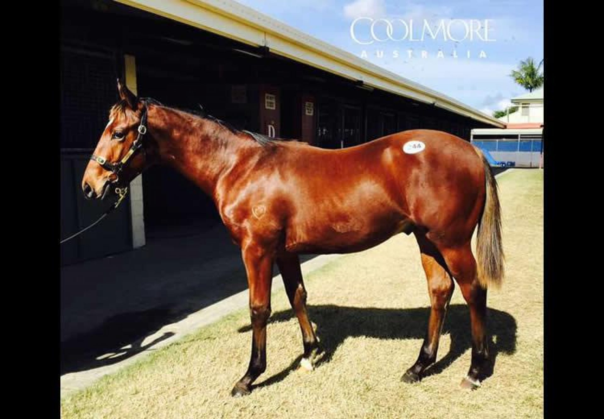 Pierro ex Assail weanling colt conformation shot