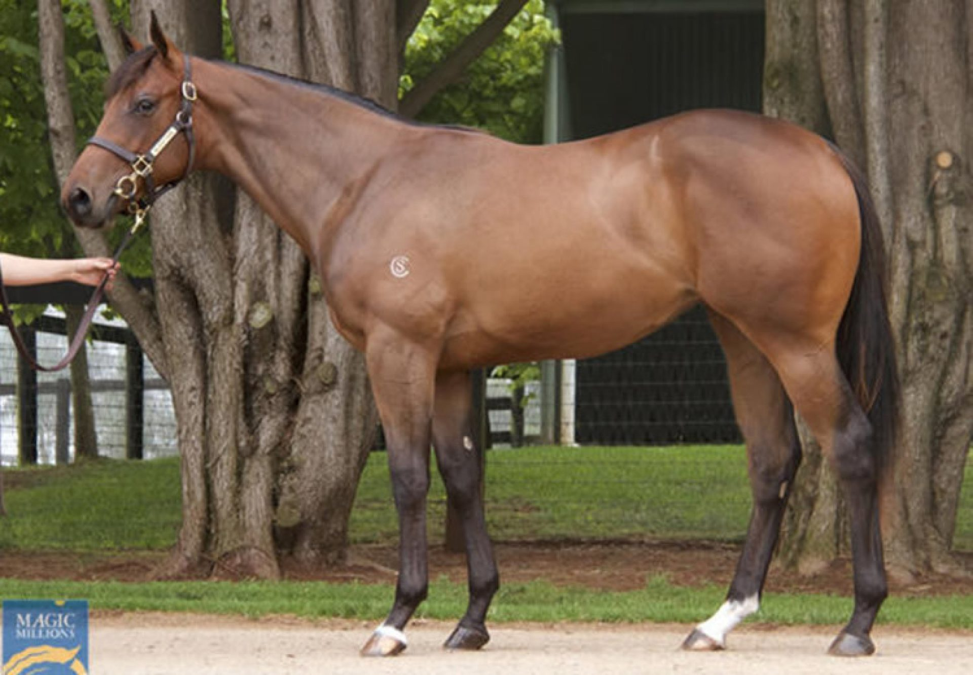Pierro X Griante yearling filly conformation shot