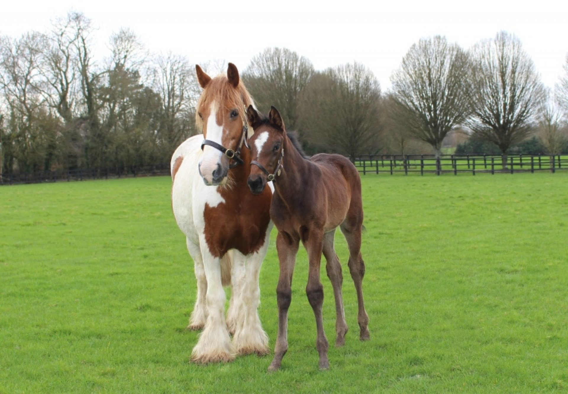 Royal Delta foal with foster mother