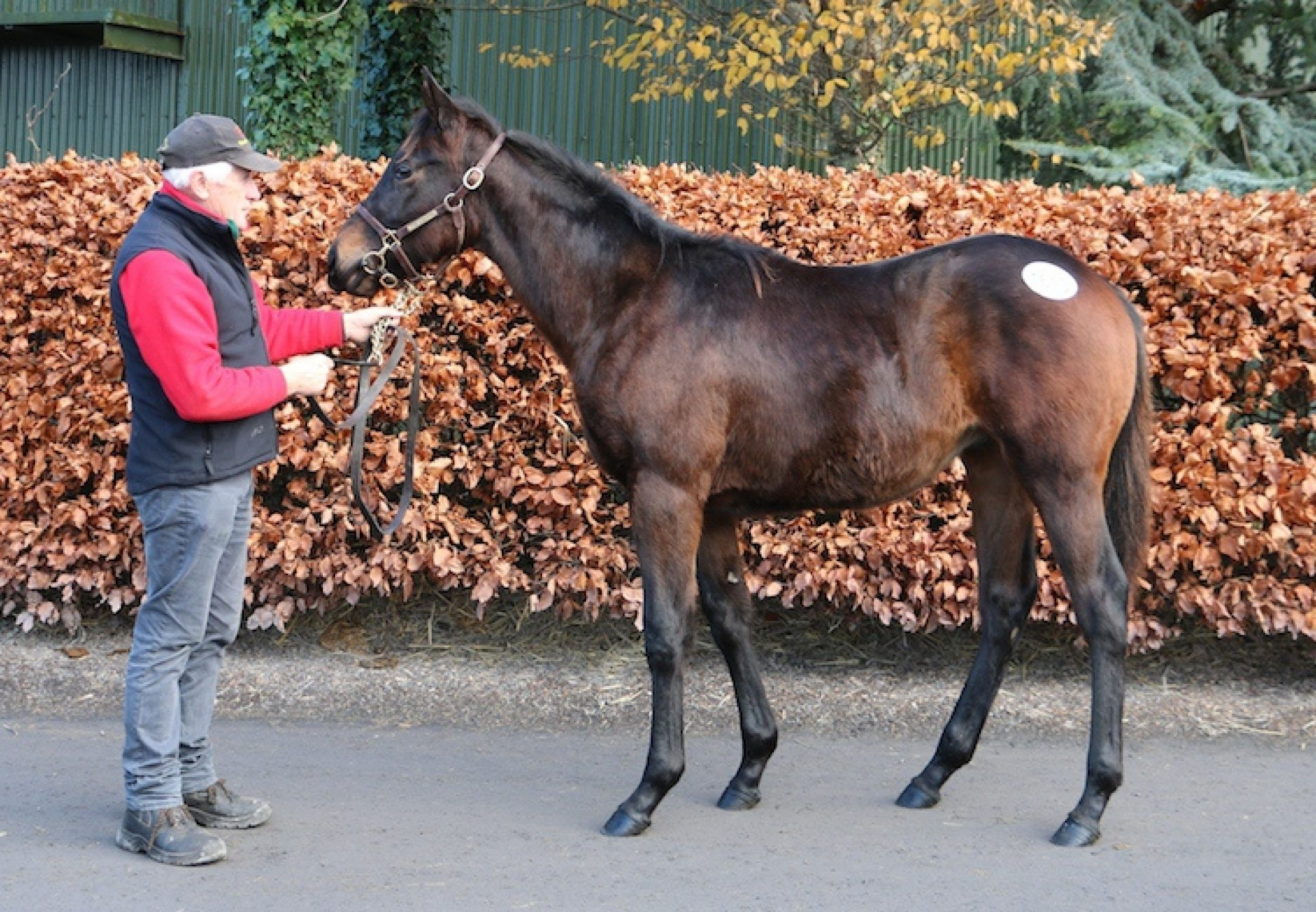 Kingston Hill ex Shakeeba colt conformation shot