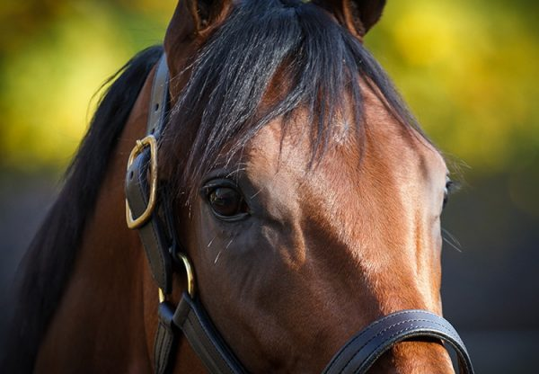 American Pharoah head shot