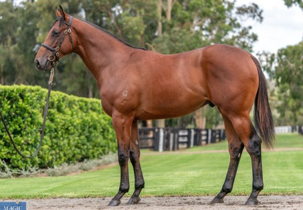 Fastnet Rock X Ciarlet yearling colt conformation shot