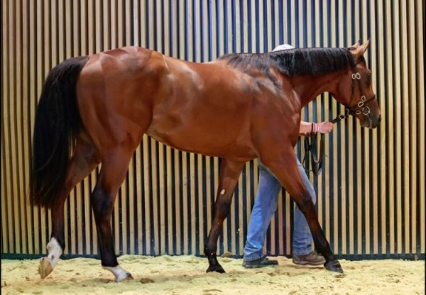 American Pharoah ex Tare Green 2yo colt selling at Arqana Breeze Up Sales for €1.1 million