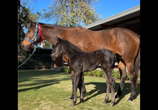 Calyx X Dreams Genie filly foal