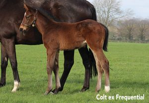 Churchill Ex Frequential Colt