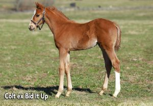 Cupid Colt Ex Bid It Up